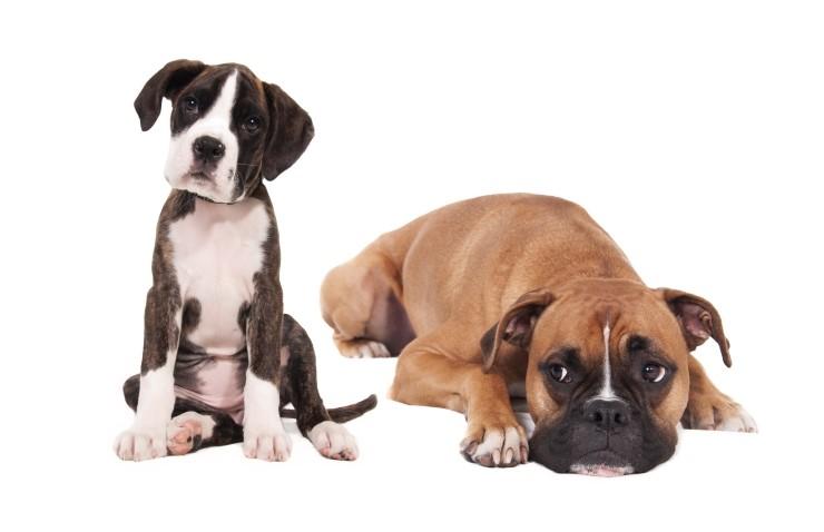 stockvault-boxer-dogs130869.jpg